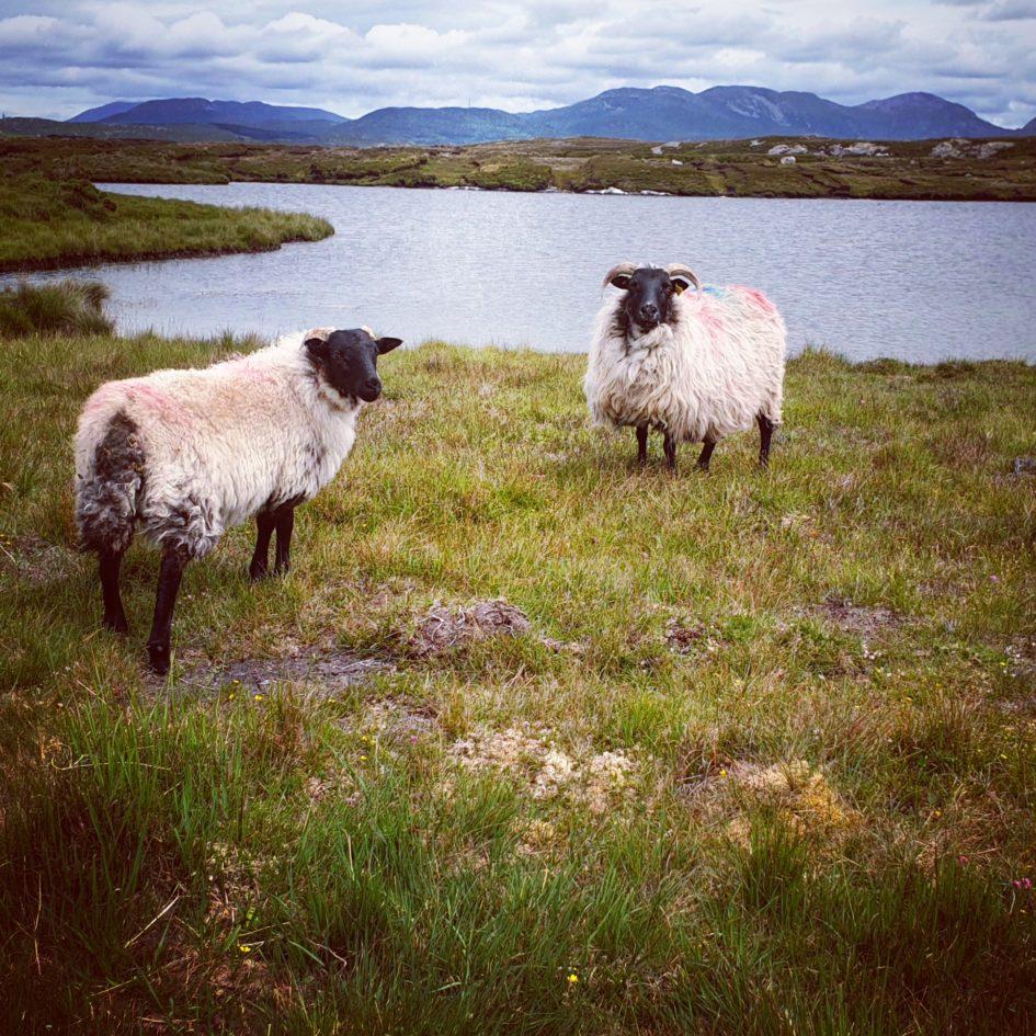 Schafe im Moor von Irland vor den Twelve Bens